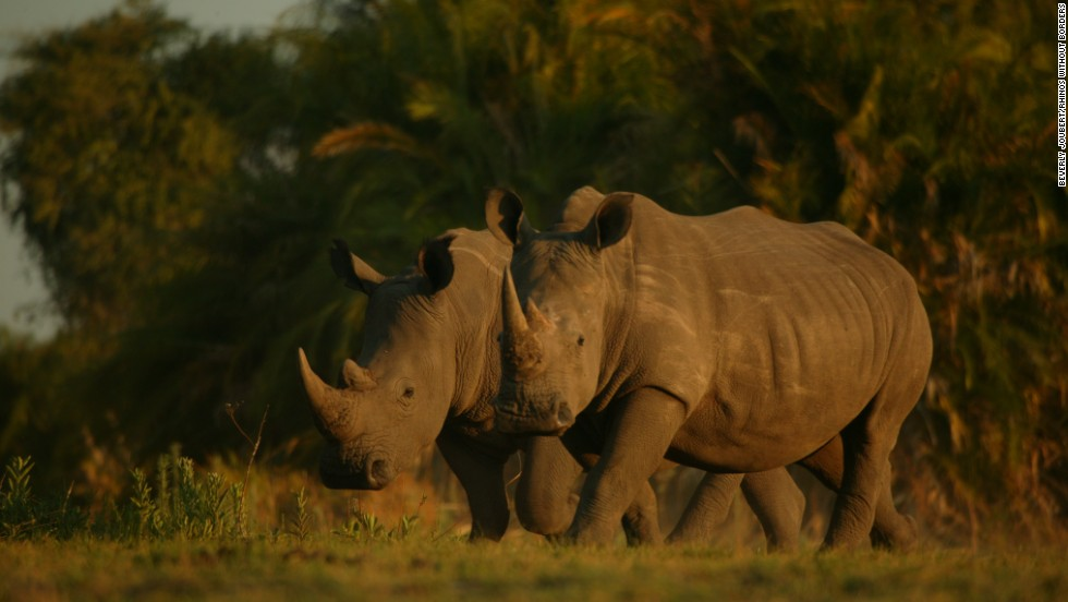 In 2006, Rhino Fund Uganda acquired six rhinos, and created the Ziwa Rhino Sanctuary to house them. Today, the sanctuary houses 15 white rhinos.