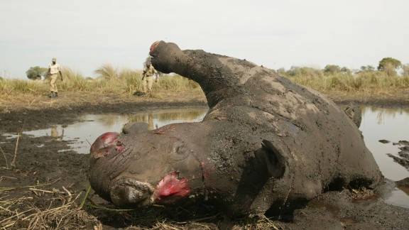 In 2013, over 1,000 rhinos were killed for their horns.