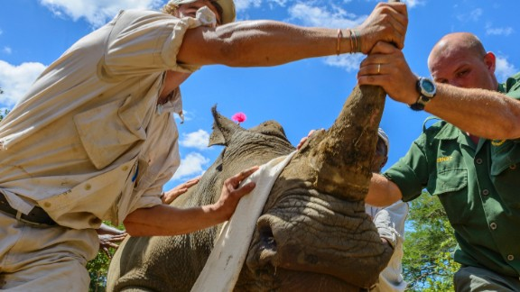 Rhinos Without Borders has partnered with tourism venture andBeyond (pictured), who moved rhinos from one of their private reserves to Botswana in 2011. It costs roughly $45,000 to move a single rhino.
