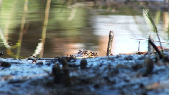 "A baby alligator peers out from the Davis Bayou in Mississippi. ""Taking pictures of wildlife by kayak allows you to approach the shot in ways you just can"