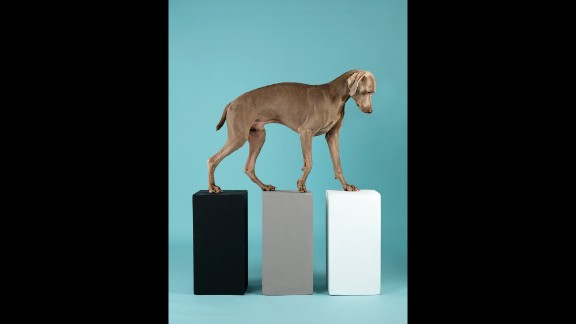 """""""Contact"""" (2014) features Topper, the latest addition to Wegman's litter in 2012. Wegman first met Topper as a model in his New York studio and later decided to adopt him to be a companion to Flo. """"Though I'd had some worries -- mainly that bossy Flo, who is more demanding than any puppy I have ever raised, would be jealous -- they proved to be short-lived. Flo and Topper are highly charged and loving playmates. We just stand back and watch the show,"""" <a href=""""http://wegmanworld.typepad.com/wegman_world/2012/09/introducingtopper.html"""" target=""""_blank"""" target=""""_blank"""">Wegman says</a>."""