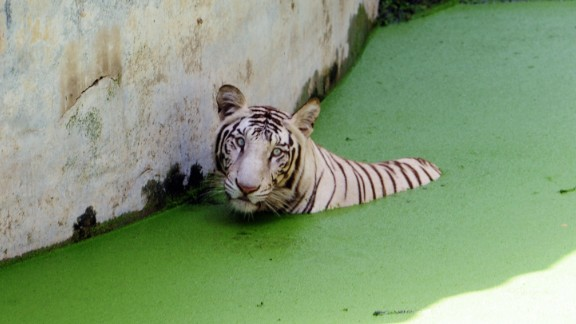 A white tiger rests in a pond at the Zoological Park in New Delhi in 2009.