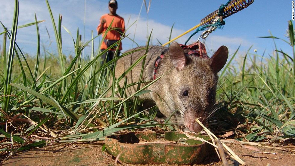 In 2006, Apopo started testing rats on the mine fields in Mozambique, a country that at that time was one of the worst affected by landmines, thanks mainly to a civil war that ended in 1992.
