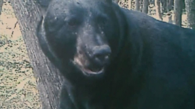 dnt 780 pound bear killed _00012113.jpg