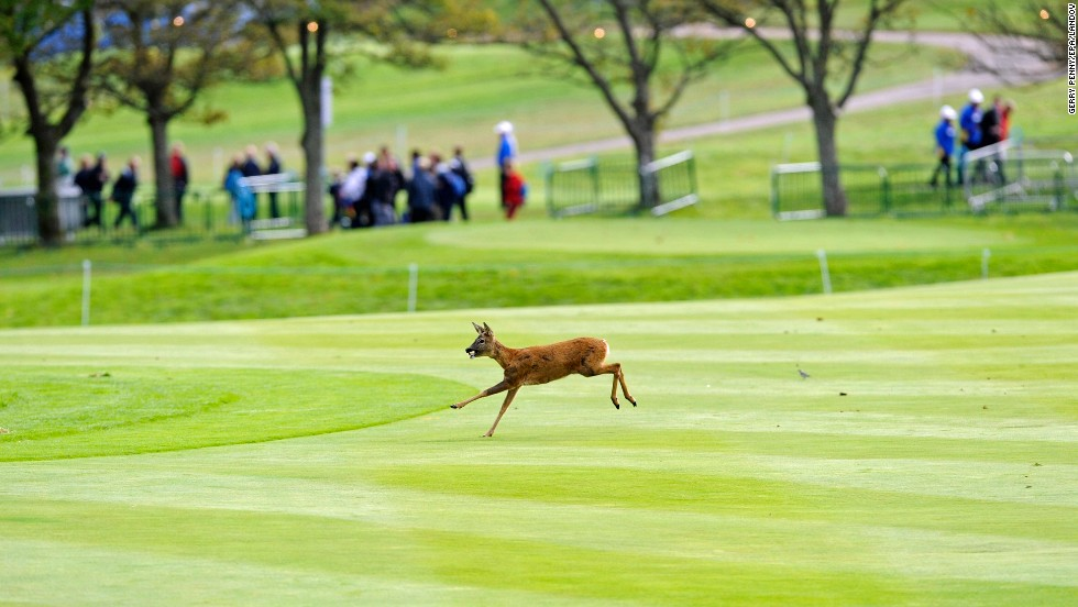 A deer runs across a fairway Tuesday, September 23, at the Gleneagles golf resort in Auchterarder, Scotland. The course hosted the Ryder Cup competition several days later.