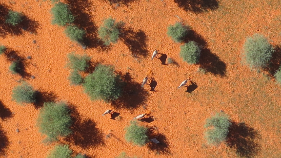 There are five oryxes in this photo. Can you spot them? If not, please don't volunteer with this project.