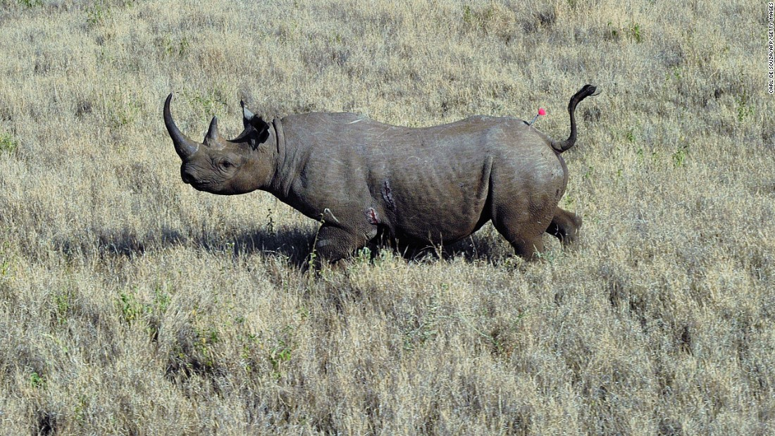 "Poachers and hunters are responsible for the early decline of black rhino population. The world's animal population has halved in 40 years as humans put unsustainable demands on Earth, according to <a href=""http://www.cnn.com/2014/09/30/business/wild-life-decline-wwf/index.html"">a 2014 report from the World Wide Fund for Nature</a>."
