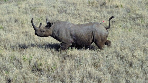 A wild male black rhino named Sambu is pictured after it was darted from a helicopter in Lewa conservancy on August 28, 2013. 11 of Lewa