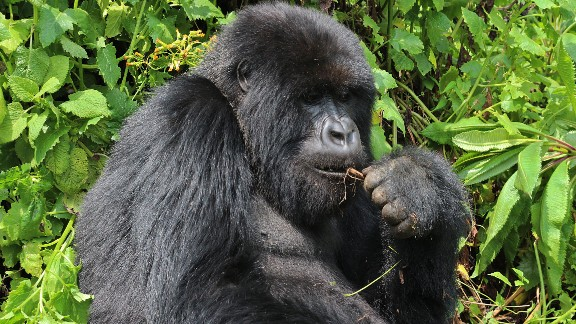 As humans move more into the mountain gorillas' territory, the gorillas have been pushed farther up into the mountains, forcing them to endure dangerous and sometimes deadly conditions, the WWF report on the planet says.