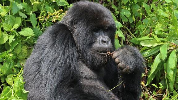 As humans move more into the mountain gorillas