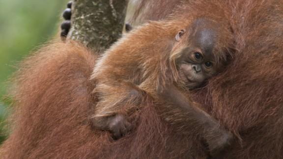 Sumatran orangutans are losing their natural habitats to mining, palm oil and paper plantations.