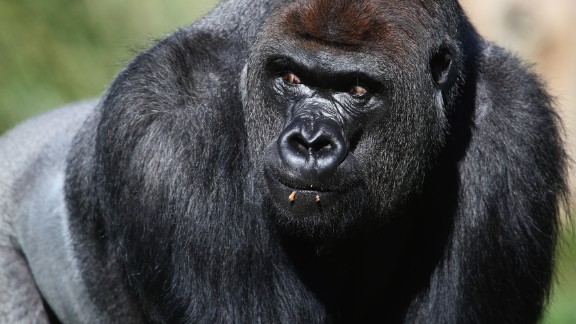 Western lowland gorillas are critically endangered species. Because of poaching and disease, their numbers have declined by more than 60% over the last 20 to 25 years, according to the WWF