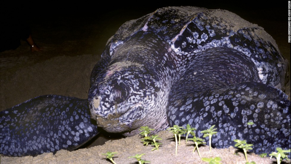 Leatherback turtles are the largest sea turtle species and also one of the most migratory, crossing both the Atlantic and Pacific Oceans. According to WWF, their numbers have seriously declined during the last century as a result of intense egg collection and fishing.