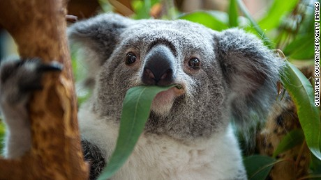 A female koala eats eucalyptus leaves in the Zoo parc of Beauval in St Aignan on July 19, 2014. . Beauval is the unique park in France with rare birth and koalas in captivity. AFP PHOTO / GUILLAUME SOUVANT (Photo credit should read GUILLAUME SOUVANT/AFP/Getty Images)