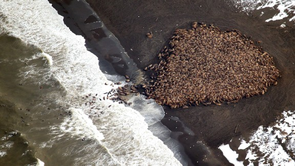 In a photo released by NOAA, about 1,500 walruses are shown on the northwest Alaska coast on September 23.