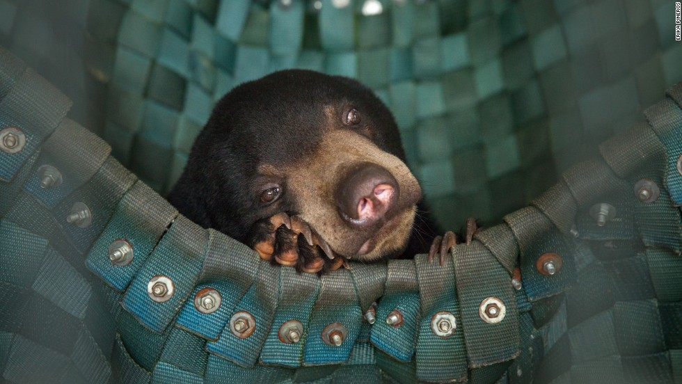 "A sun bear takes a nap in one of Free The Bears' hammocks at the Phnom Tamao Wildlife Rescue Center near Phnom Penh. <a href=""http://www.erikapineros.com/"" target=""_blank"">Photo by Erika Pineros.</a>"