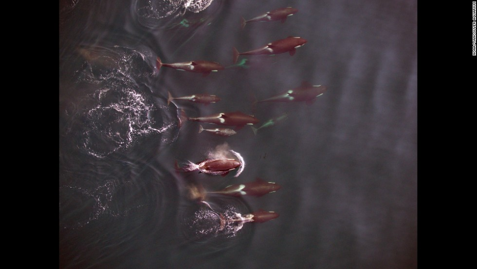 A group of northern resident killer whales, photographed by an unmanned aerial vehicle from 100 feet.