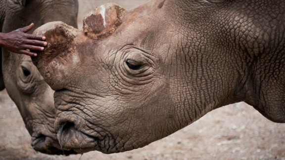 Sudan was one of three northern white rhinos left worldwide. He died in March 2018.