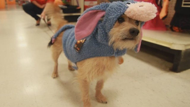 Dressing your pet for Halloween success
