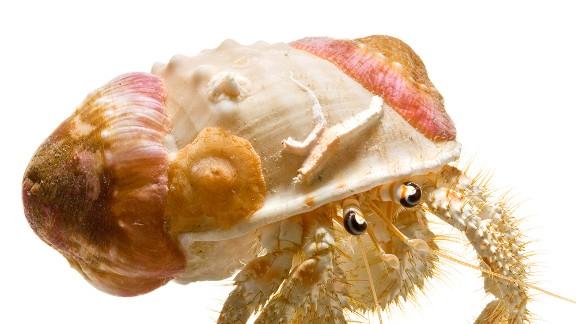 This crab