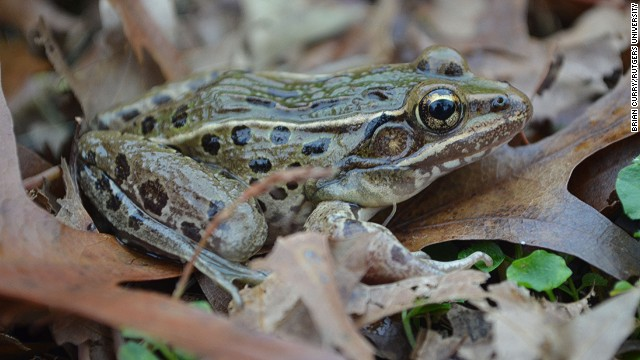 The Atlantic Coast leopard frog lives in the marshes of Staten Island, at the edge of New York Harbor.