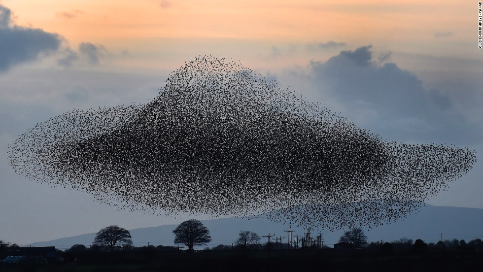 A flock of starlings flies near the town of Gretna, Scotland, on Thursday, November 6. The birds visit the area twice a year, in February and November.