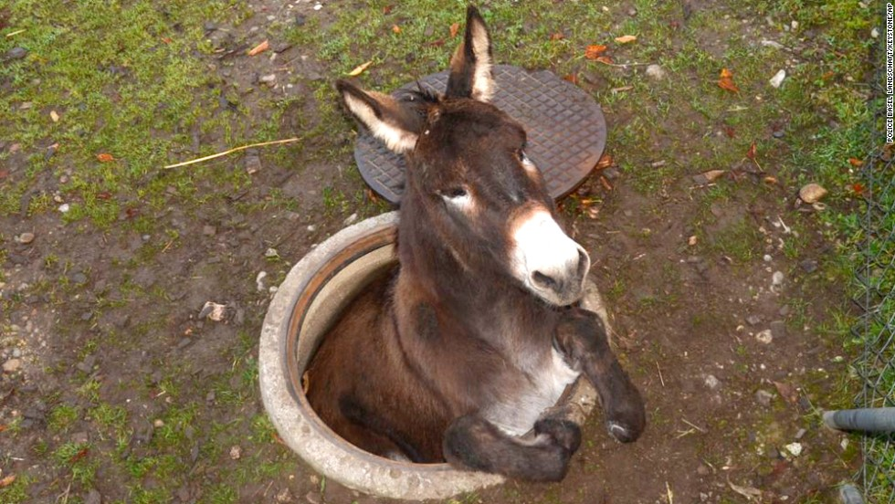 A donkey is stuck in a manhole near Basel, Switzerland, on Saturday, November 1. Firefighters were able to rescue the animal after it was spotted by a resident.