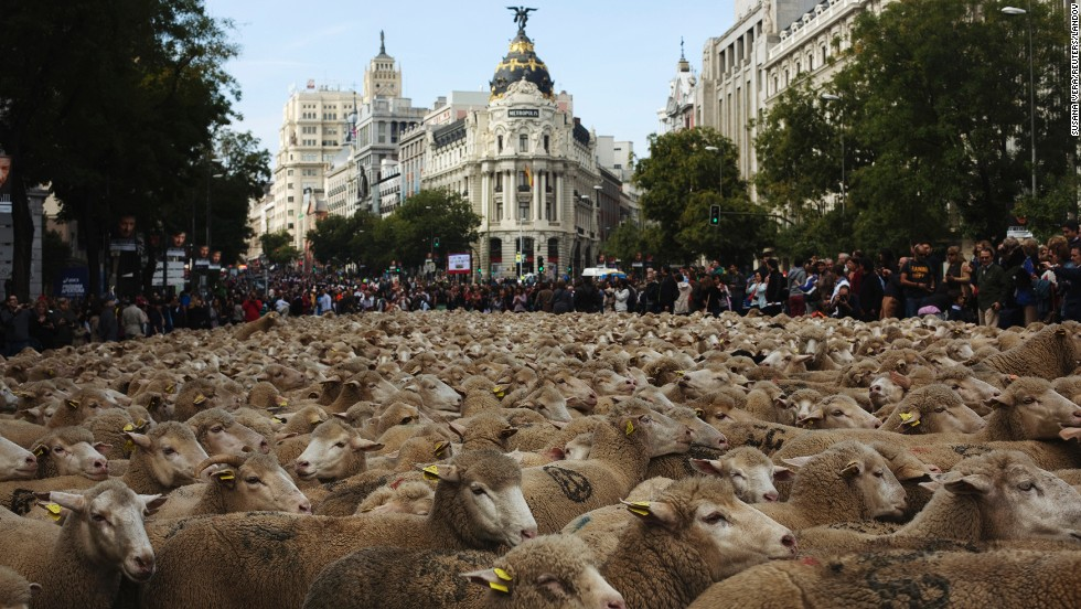 Sheep are herded during the annual sheep parade through Madrid on Sunday, November 2. Shepherds take the sheep through the city every year to exercise their right to use traditional routes to migrate their livestock from northern Spain to winter grazing pastures in southern Spain.