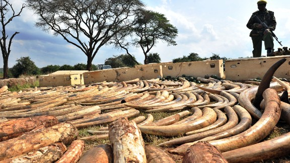 A Kenya Wildlife Services (KWS) ranger stands guard over an ivory haul seized as it transited through Jomo Kenyatta Airport in Nairobi.  In 1989, Leakey, then head of the Kenya Wildlife Services, arranged for a very public burning of 12 tons of ivory in Kenya to discourage trafficking and reduce demand.