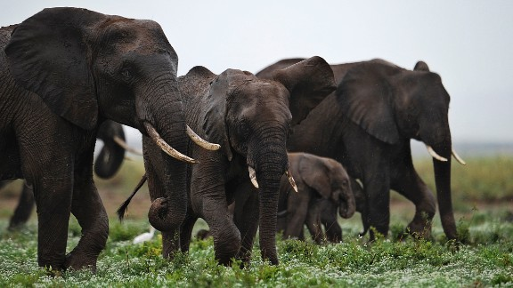 Elephants, particularly in Africa, have long been the target of poachers, who look for a quick profit on ivory from their tusks at the expense of a global treasure, says paleoanthropologist Richard Leakey
