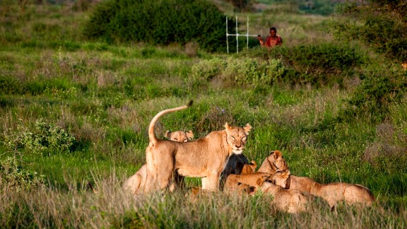 "The guardians also learn about ""their"" lions. They keep data on the lions"
