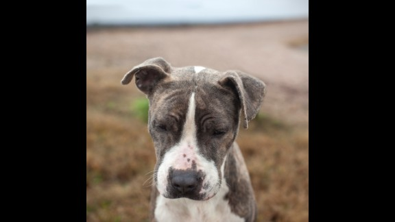 Ice Frosting, a 2-year-old male pit bull, was taken in by a rescue group called Wags in Pennsylvania.