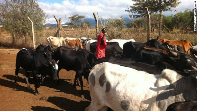 Maasai communities migrate with their cattle in search of fresh land to graze on.
