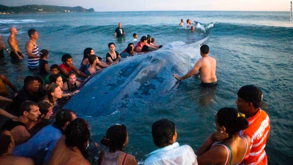 Residents and tourists in Rivas, Nicaragua, gather around a stranded whale as they try to return it to the ocean on Friday, November 14. Their attempts were unsuccessful, however, and the whale died.
