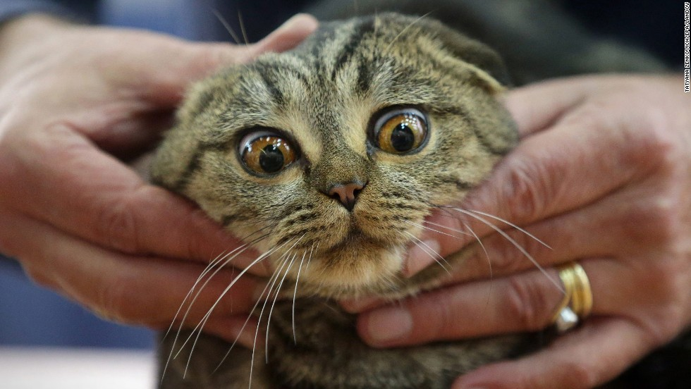 An expert examines a Scottish Fold cat during a cat exhibition in Kiev, Ukraine, on Sunday, November 16.