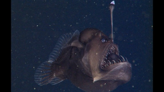 A dweller of the deep sea, the black seadevil lures prey with a bioluminescent appendage.