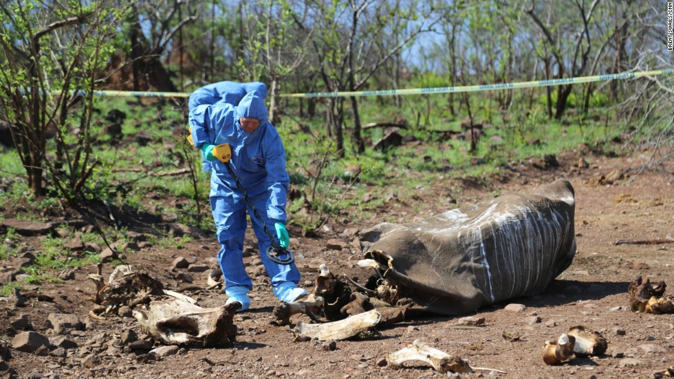 Environmental Crime Investigation Inspector Frikkie Rossouw uses a metal detector to search for the bullet used by poachers. He and his team later discovered that the dead rhino was a pregnant female. The fetus, like the rest of her, long picked away by scavengers.