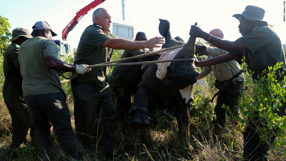 "Kruger's park rangers began relocating rhinos last year to <a href=""http://www.bbc.co.uk/news/world-africa-28758910"" target=""_blank"">clear ""poaching hotspots"" near the porous Mozambique border</a>."