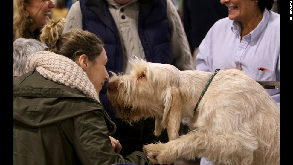 A Spinone Italiano stopped to give an admirer a kiss at the show.