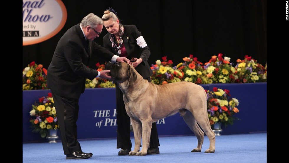 A mastiff was one of the competitors in the working group.