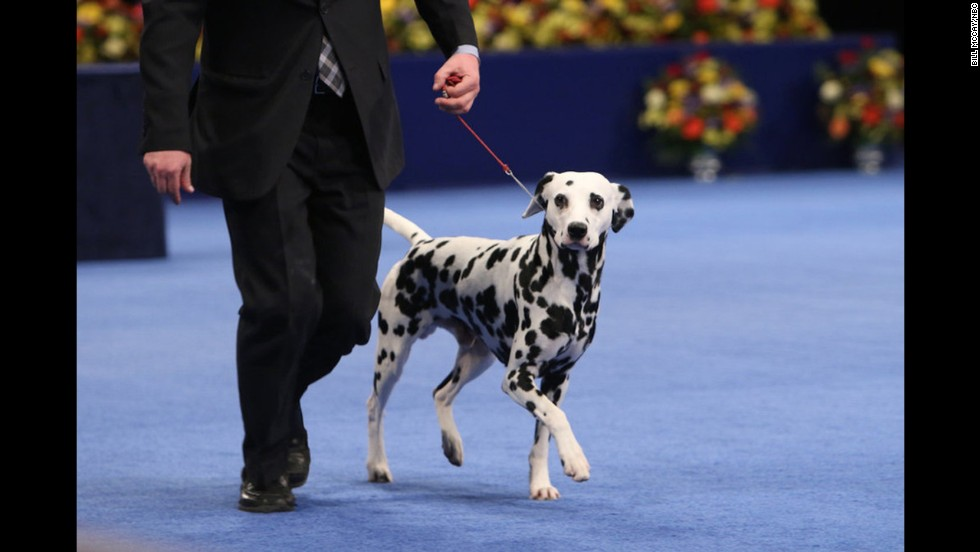 A Dalmatian competed in the non-sporting group. A French bulldog named Freda won that category.