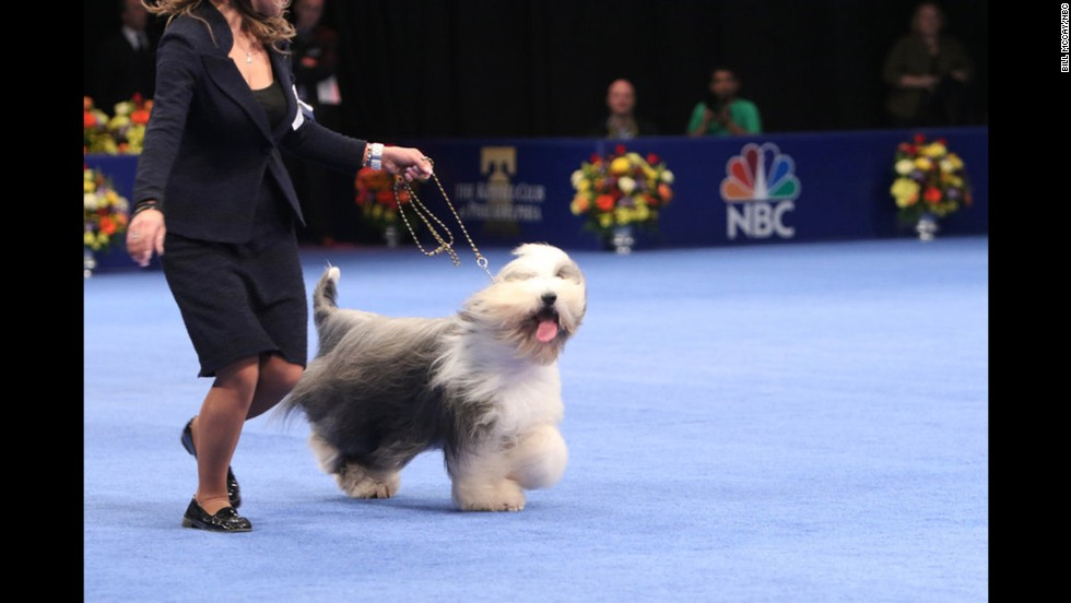 A bearded collie named Zack beat out the competition in the herding category.
