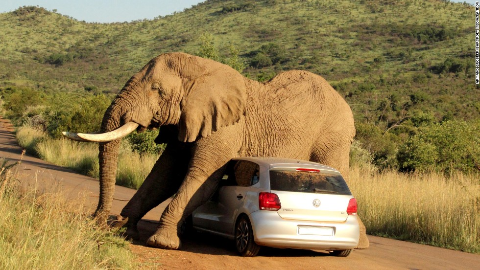 <strong>August 6:</strong> An elephant relieves an itch on a small car in South Africa's Pilanesberg National Park. The two passengers in the car were shaken up but not injured.