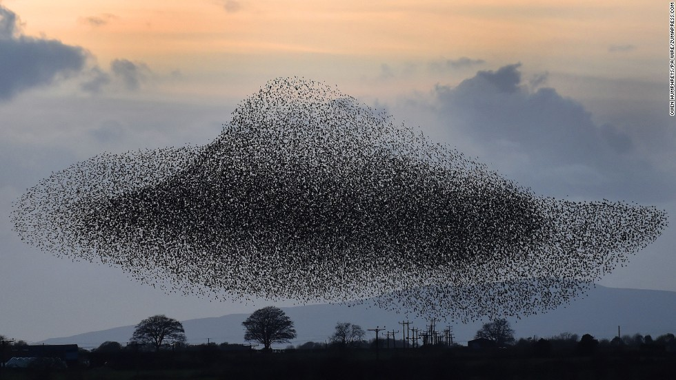 <strong>November 6:</strong> Starlings fly near the town of Gretna, Scotland. The birds visit the area twice a year, in February and November.