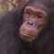 gombe chimp face