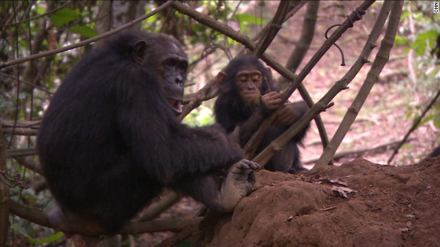 Goodall's studies have revolutionized what we knew about chimps.