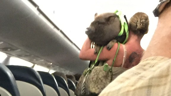 Passenger Robert Phelps took this picture as the woman left the plane with her pig.