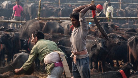 A devotee slaughters a water buffalo during the celebration of the Gadhimai festival on November 28 in Bariyarpur, Nepal. Held every five years at the Gadhimai temple of Bariyarpur, the festival is the world
