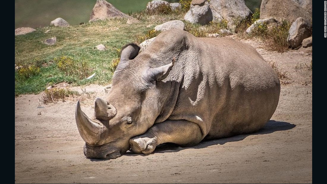 "Kruger National Park is home to roughly 10,000 rhinos -- <a href=""http://edition.cnn.com/2014/11/30/world/africa/rhino-poaching-kruger-national-park/"">a quarter of the world's population.</a>"