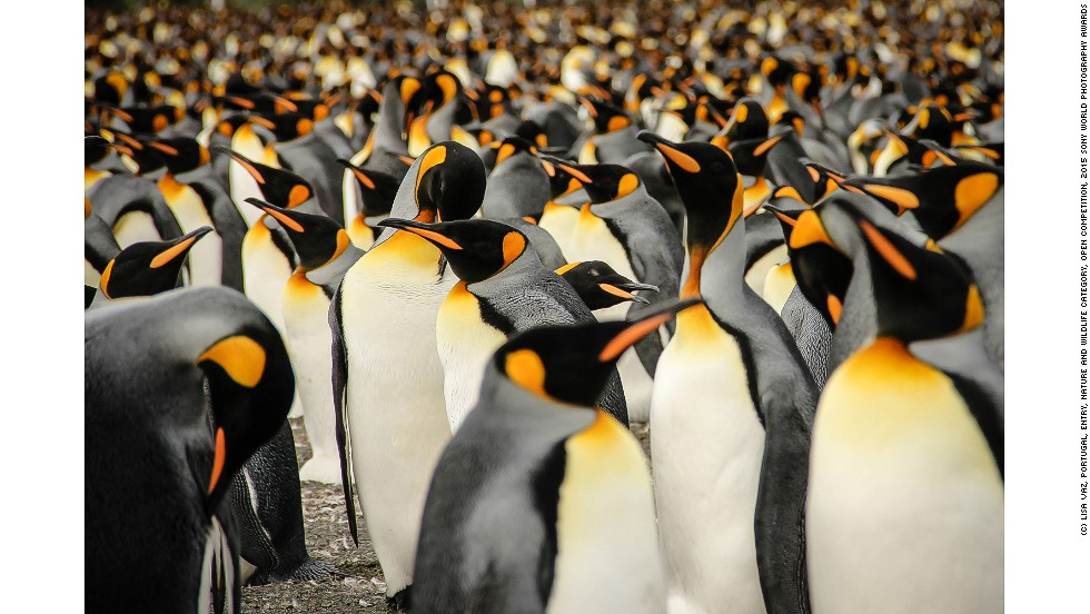 "<strong>""In a crowd of King Penguins,"" by Lisa Vaz</strong>"
